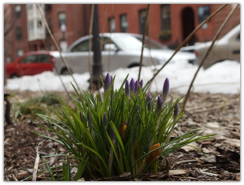 Boston Crocus